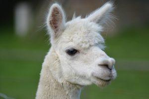 alpaca-lama