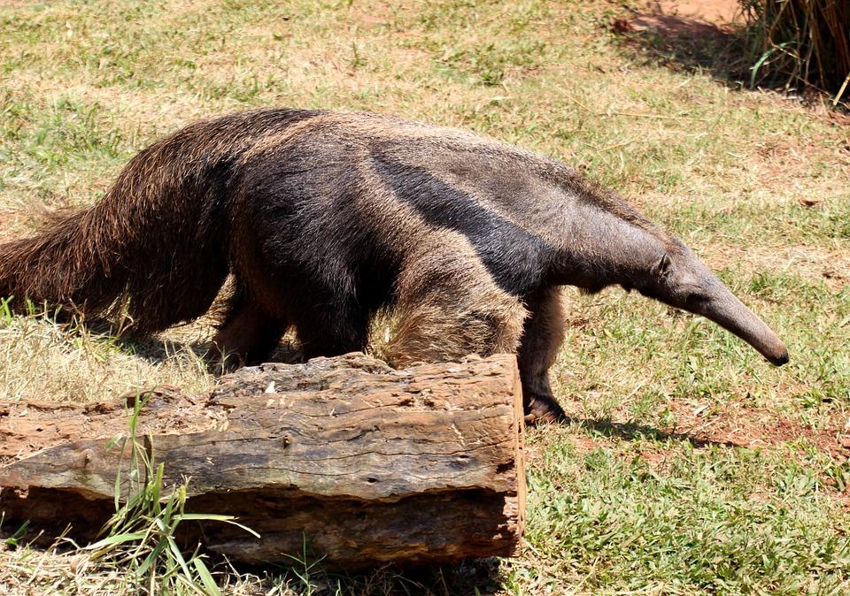 Formichiere il mammifero con la proboscide e la lingua lunga