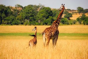 Giraffa-estinzione