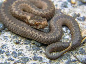 Serpente-vipera