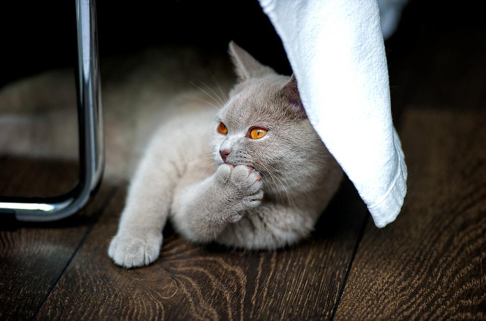 British Shorthair Un Gatto Elegante Dal Carattere Eccezionale