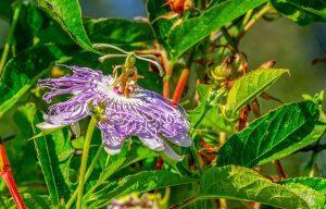 Passiflora-coltivazione