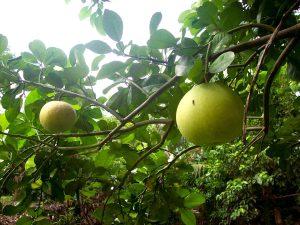Pomelo-pianta