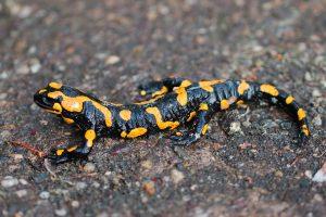 Salamandra-pezzata