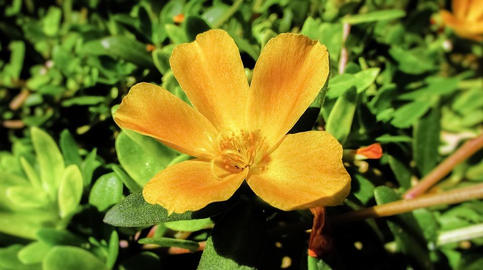 Portulaca la pianta infestante commestibile e ricca di for Portulaca commestibile