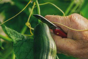 Cetriolo-pianta