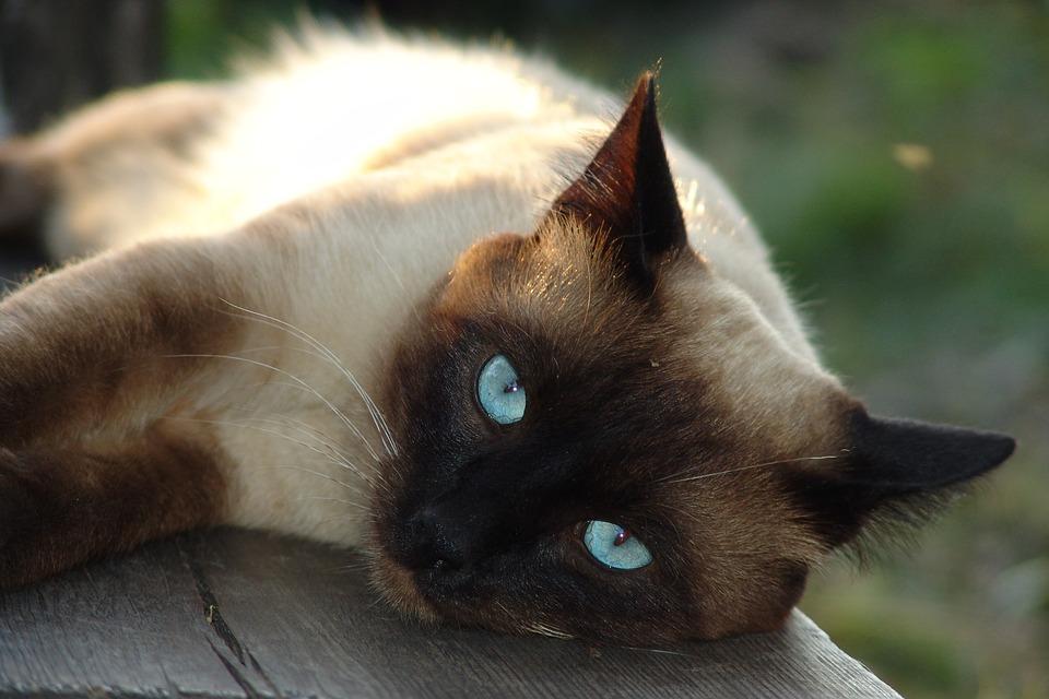 Gatto Siamese Una Meraviglia Dal Carattere Quasi Umano