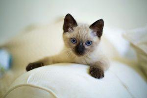 Gatto-siamese-carattere