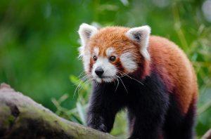 Panda-rosso