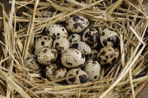 Quaglia-uova