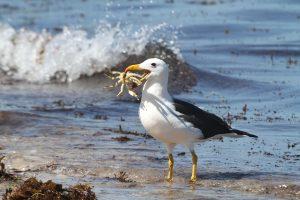 Albatros-cosa-mangia