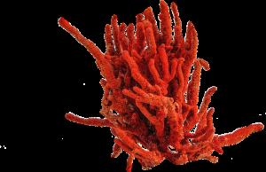 Corallo-rosso