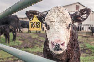 Mucca-da-latte
