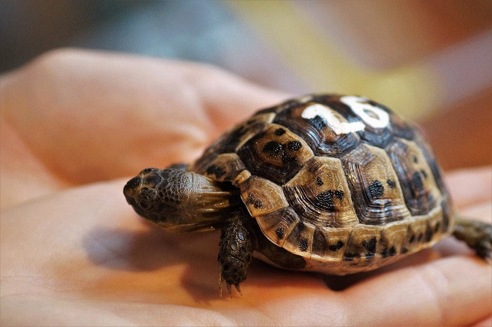 Tartarughe d acqua specie alimentazione e come for Acqua tartarughe