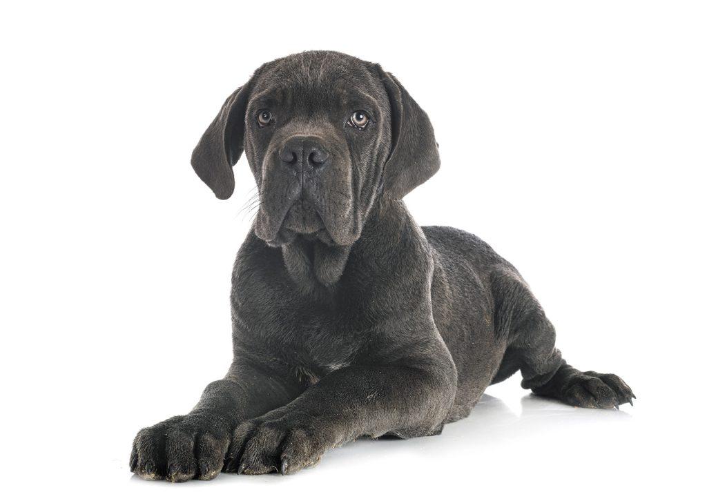 Cane corso: carattere, indole e ambiente più adatto