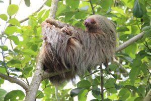 Animali-lenti-bradipo