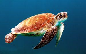 Animali-lenti-tartaruga