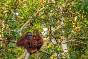 Borneo-animale