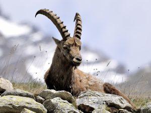 Stambecco-ibex