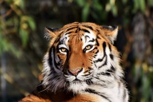 Tigre-siberiana