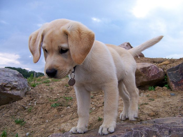 Labrador-cucciolo