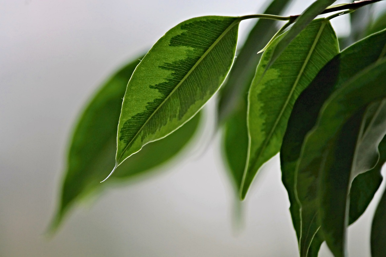 Cura Del Ficus Benjamin ficus benjamin: una pianta da interno resistente e facile da