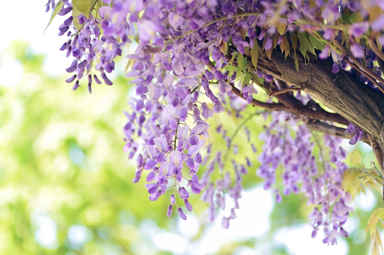 Clematis Resistenti Al Freddo piante rampicanti: 5 varietà perfette per grigliati e gazebo
