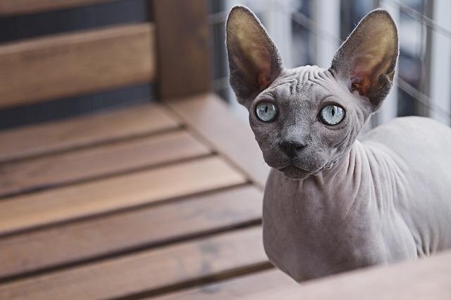 Sphynx-gatto
