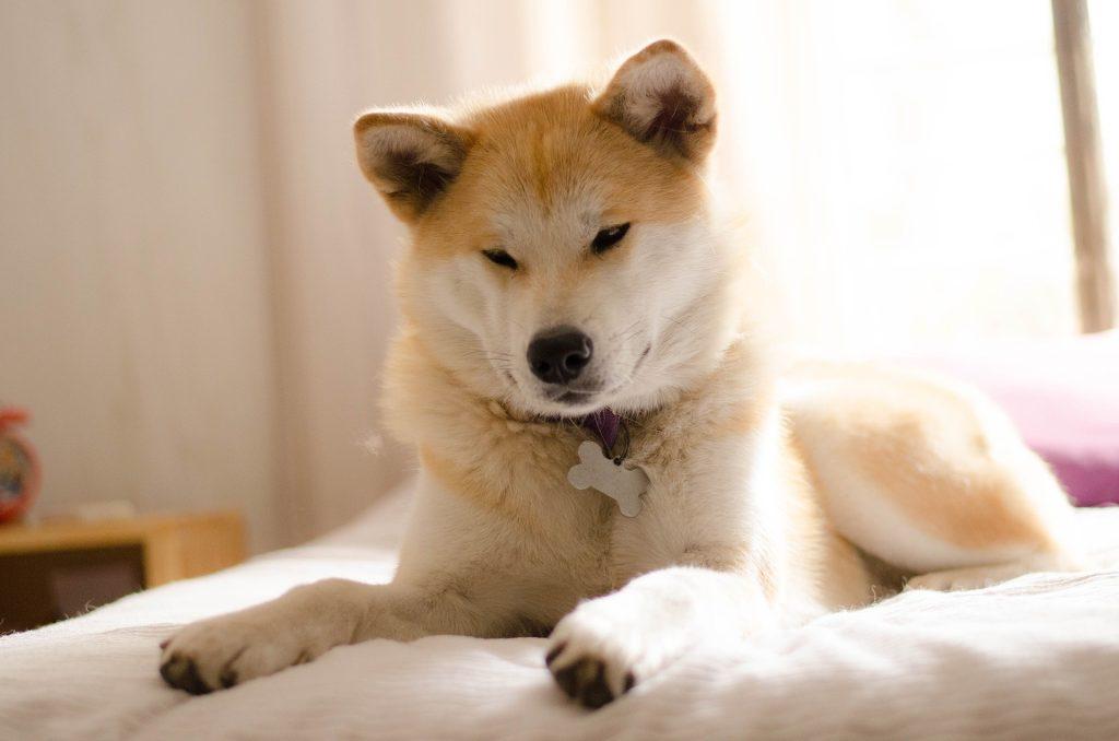 Akita Inu: origine e caratteristiche